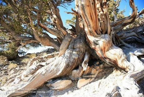 Ấn tượng trước cây thông hơn 5000 năm tuổi